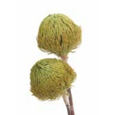 "BANKSIA BAXTERII (no leaves) Basil 12""-18"" -OUT OF STOCK"