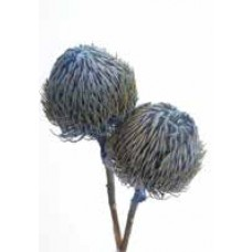 "BANKSIA BAXTERII (no leaves) Sky Blue 12""-18"""