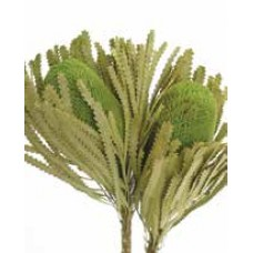"BANKSIA HOOKERANA Basil 12""-18"" OUT OF STOCK"