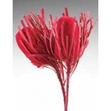 "BANKSIA HOOKERANA Red 12""-18"" - OUT OF STOCK"