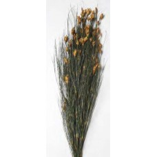 "BELL REED PRESERVED  AUTUMN 36""-40"""