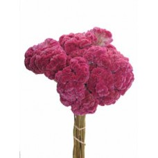 CELOSIA Pink 16""