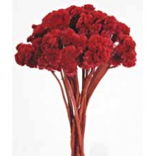 CELOSIA COLORS Red 16""