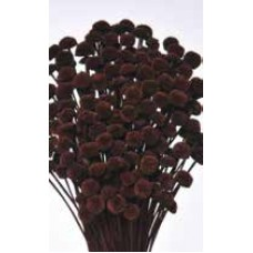 FLORAL BUTTONS Chocolate 18""