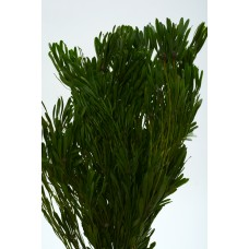PLATYSPERMUM FOLIAGE PRESERVED  Natural Green 18""