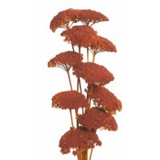 "YARROW Orange 22""  - OUT OF STOCK"