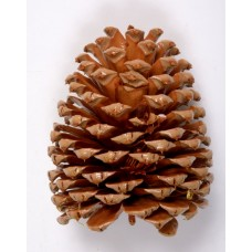 "JEFFREY PINE CONE 5""-7"" (STAKED) POLISHED"