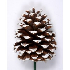 "JEFFREY PINE CONE 5""-7"" (STAKED) NATURAL/ WHITE TIPPED"