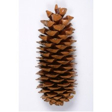 "SUGAR PINE CONE POLISHED 9""-14"" STAKED"