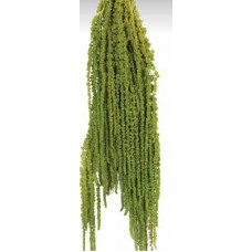 AMARANTHUS HANGING PRESERVED Light Green- OUT OF STOCK