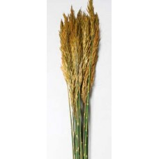 "PLUME REED PRESERVED  Autumn 36""-40"""