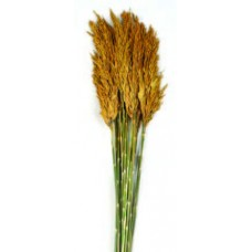 "PLUME REED PRESERVED  Gold 36""-40""-OUT OF STOCK"