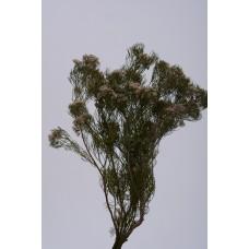 "SERUNIA FLOWERING PRESERVED 15""  Green"
