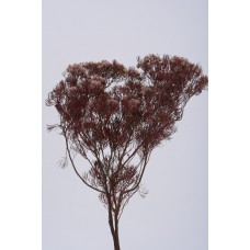 """SERUNIA FLOWERING PRESERVED 15""""  Red- OUT OF STOCK"""
