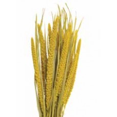"SPRAY MILLET 28"" Yellow- OUT OF STOCK"